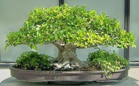 榕树盆景_上海绪华园林景观工程有限公司